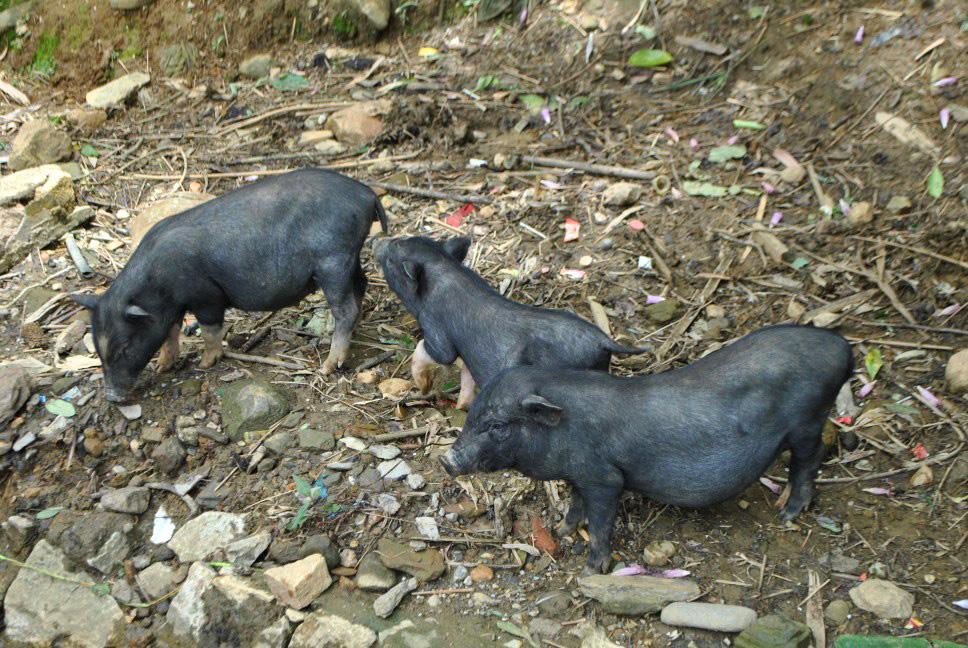 Świnki wietnamskie