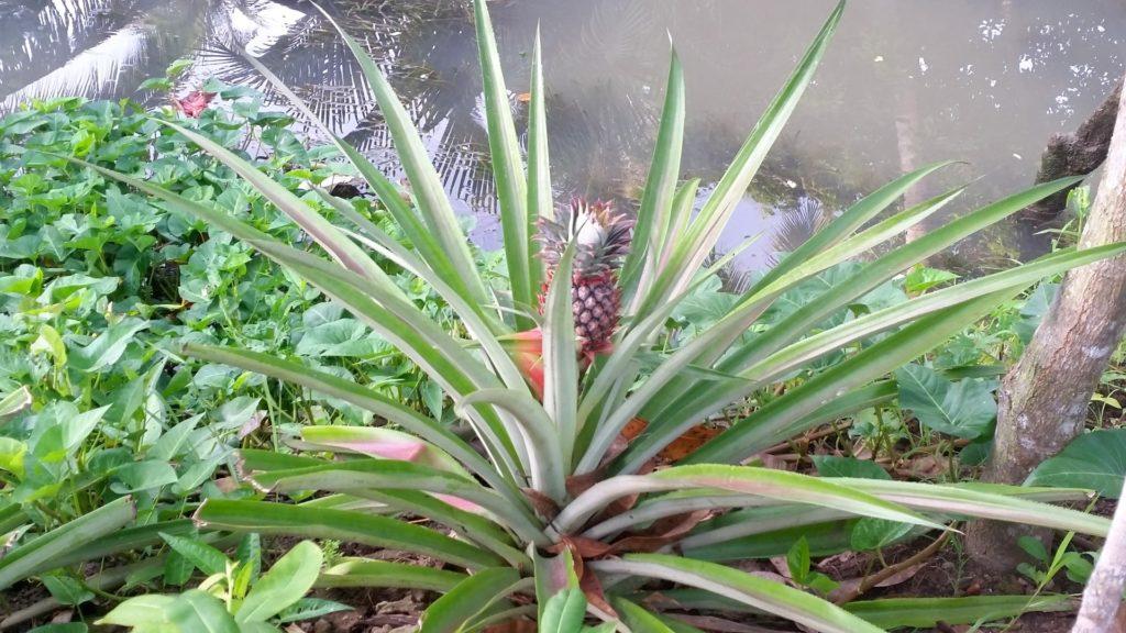 ananas Mekong