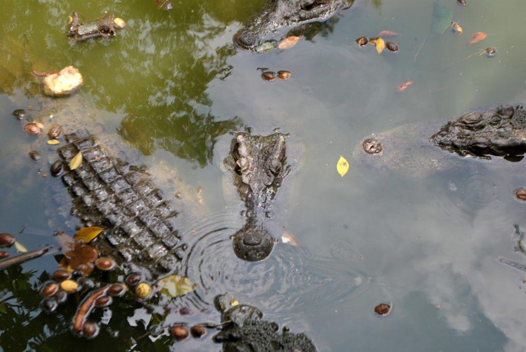 Mekong krokodyle