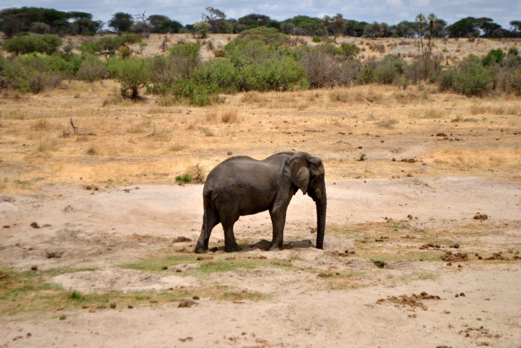 slon pije
