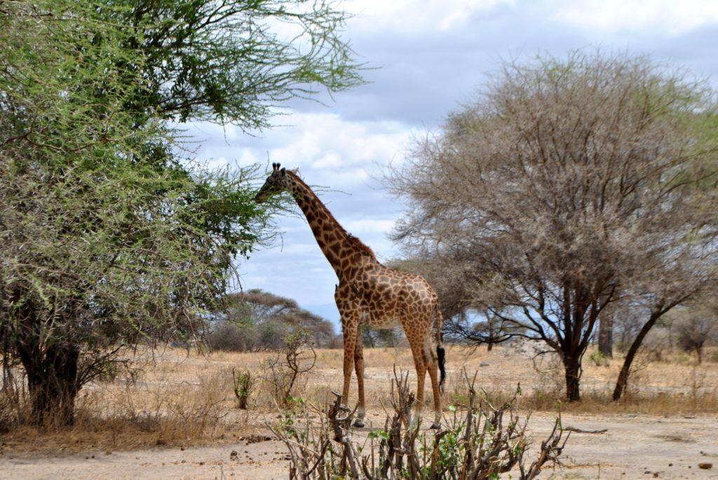 duża żyrafa