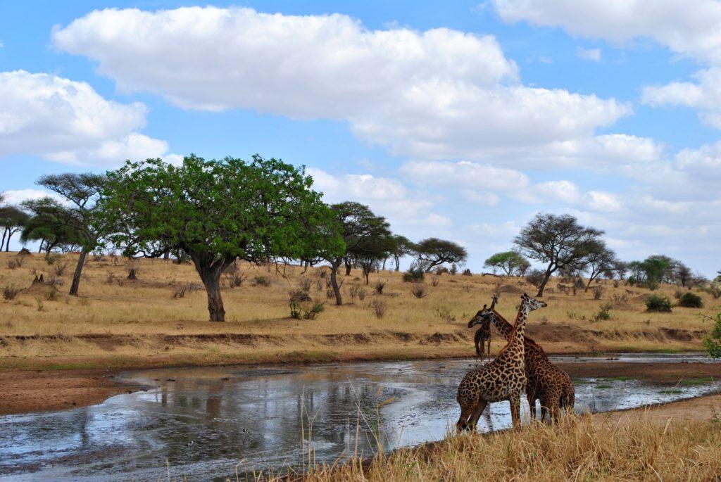 walka żyraf
