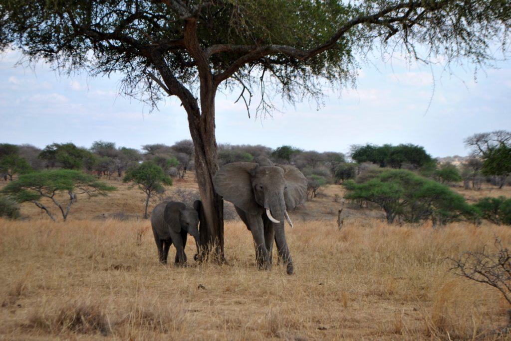slon mały i duży
