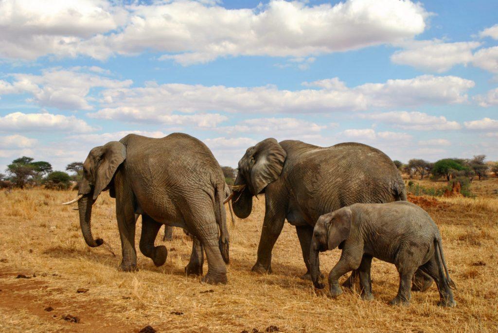 trzy slonie