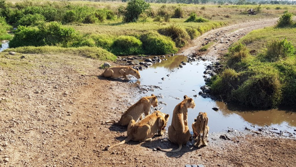 lwy wodopój