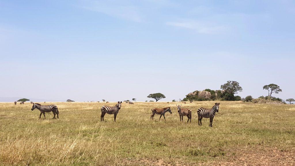 Zebry w parku Serengeti