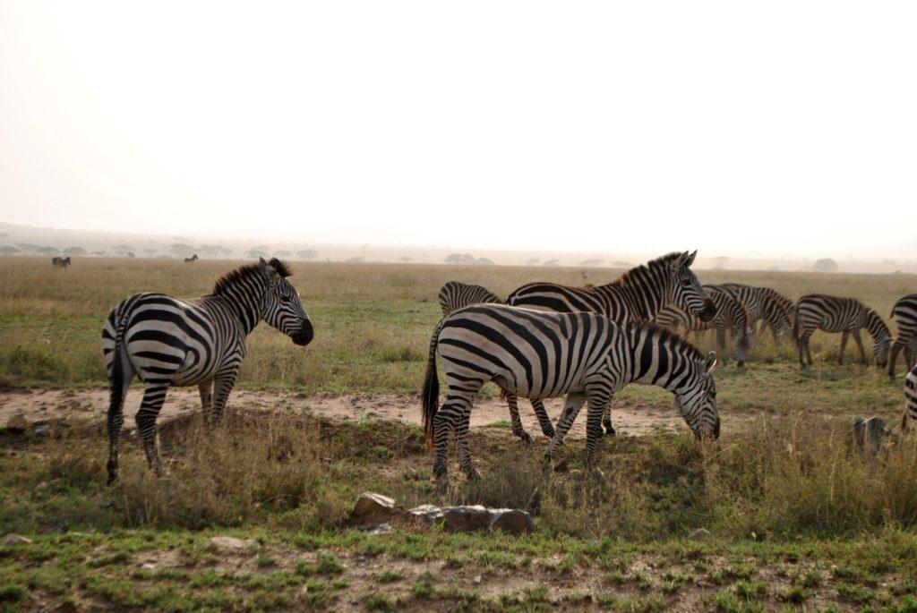 Zebry w Serengeti