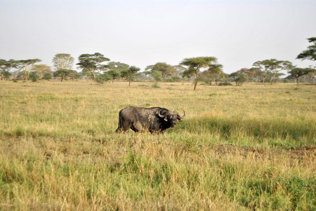 Bawół w Serengeti