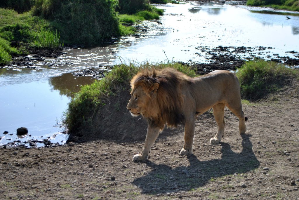 Lew Serengeti wodopój