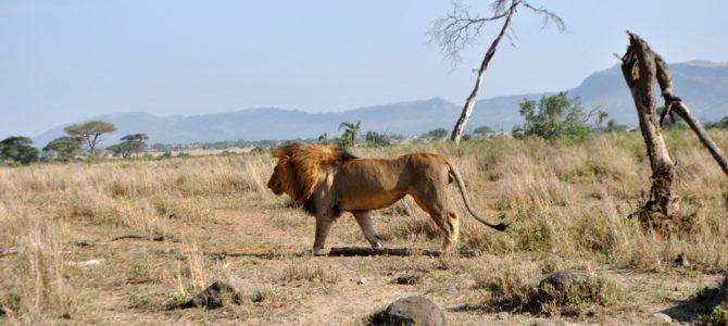 Safari w Tanzanii cz.3 Park Serengeti