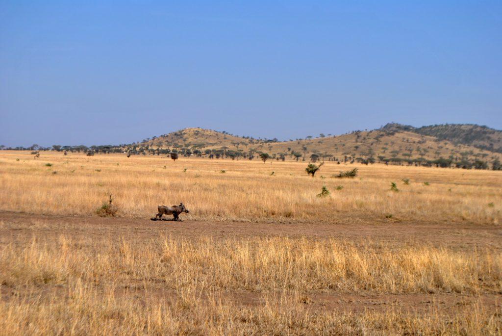 Guziec w Serengeti