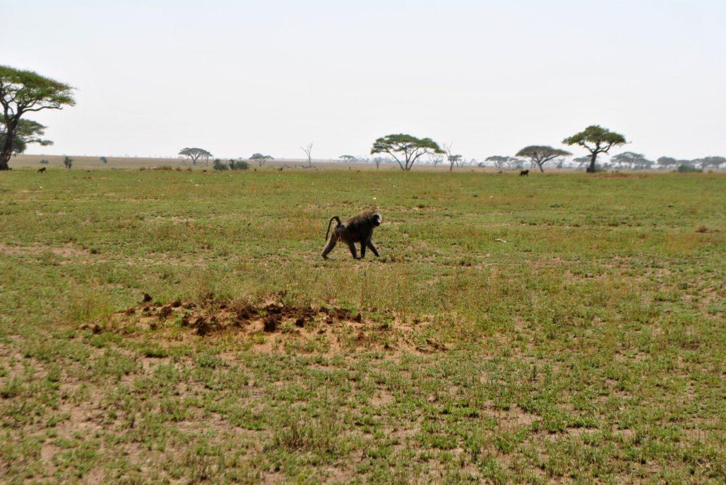 Pawian w Serengeti