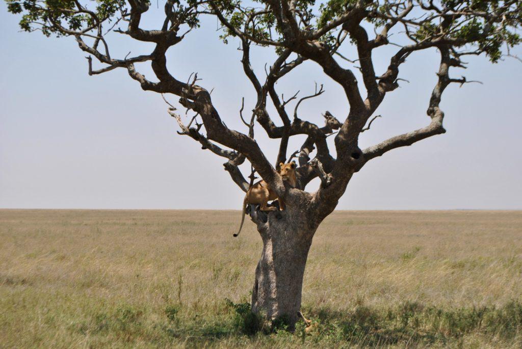 lew na drzewie